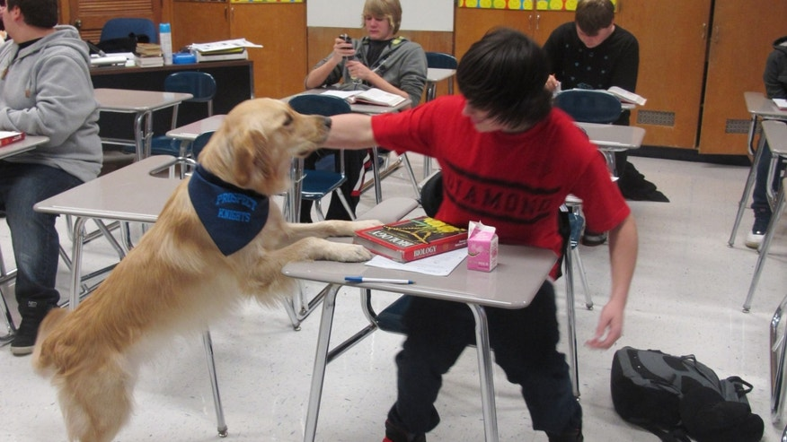 "In this Jan. 14, 2013 photo, a student pets Junie, the school's ""therapy dog,"" at Prospect High School in Mt. Prospect, Ill. Stress, anxiety and panic attacks are on the rise at many U.S. high schools, due to heightened academic expectations and troubles at home made worse by the shaky economy. So some schools are trying unconventional methods, such as therapy dogs, to help students cope. (AP Photo/Martha Irvine)"