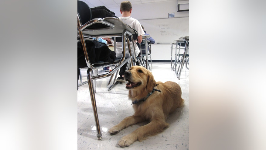 "In this Jan. 14, 2013 photo, Junie, a ""therapy dog"" at Prospect High School, lies on the floor in a classroom in Mt. Prospect, Ill. The 18-month-old golden retriever is one way this school is trying to help students cope with a rise in stress, anxiety and panic attacks. Many say these issues are a problem in schools across the country. (AP Photo/Martha Irvine)"