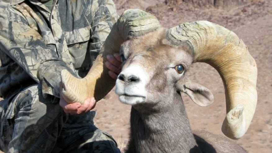 A South Dakota man recently paid $102,000 to hunt one of these animals.  (California Department of Fish and Wildlife)