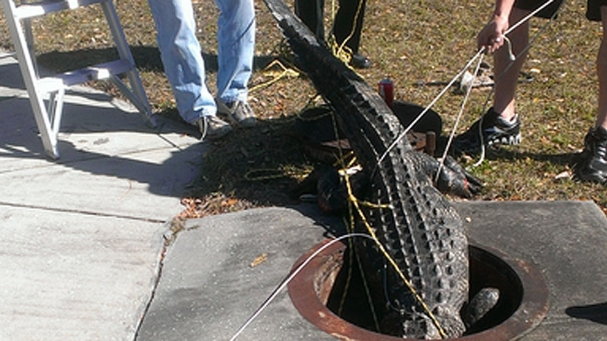The alligator will be transported to an alligator farm near Dover, Fla., officials said. (Florida Fish & Wildlife Conservation Commission)