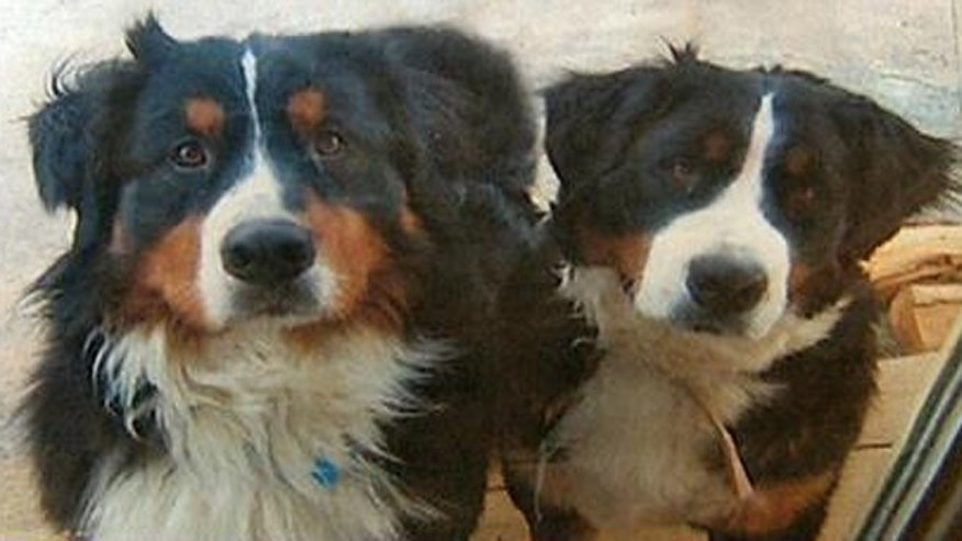 Argus and Fiona were Bernese mountain dogs, which are bred to be herding animals.