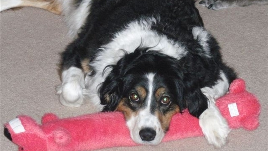 "This image, provided by the McCurtain family, of Gresham, Ore., shows ""Maggie,"" a 7-year-old border collie killed by a government trap in 2011."