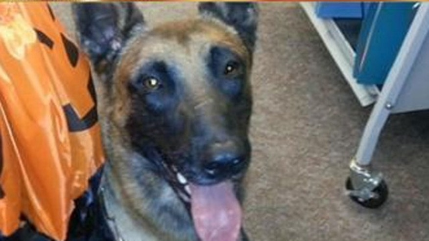 """Police dog """"Jaris"""" is recovering after being thrown out a window on the job."""