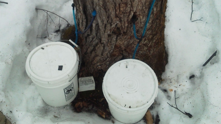 This March 12, 2013 photo released by the Maine Forest Rangers shows an illegally tapped maple tree in northern Maine. Thieves are illegally tapping trees across Maine and stealing the sap that runs each spring that's used to make sweet maple syrup. Forest rangers say the illegal tappers are damaging valuable maple trees before they are harvested for lumber. (AP Photo/Maine Forest Rangers)