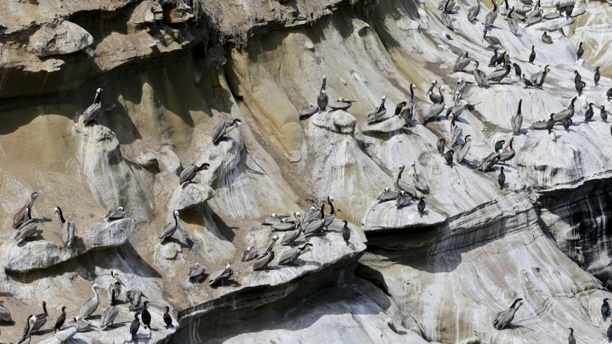 April 2, 2013: The pelicans and cormorants appear to have painted a mosaic on the cliffs above the cove in the La Jolla section of San Diego.