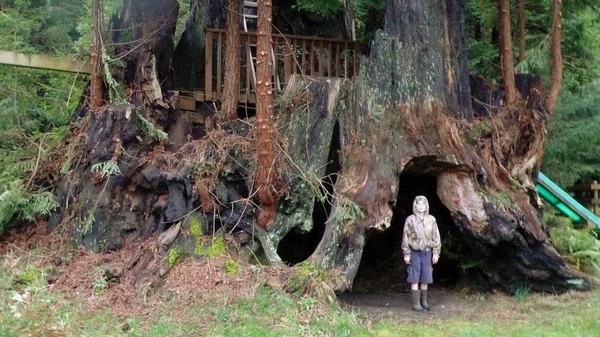 This October 2011, photo provided by Archangel Ancient Tree Archive shows an unidentified person standing beside a coastal redwood tree near Crescent City, Calif., that is among dozens the group has cloned. The group hopes to plant thousands of genetic copies of the trees around the world. (AP Photo/Courtesy Archangel Ancient Tree Archive)