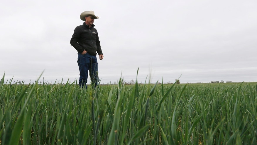 ADVANCE FOR USE SUNDAY, MAY 5, 2013 AND THEREAFTER - Kent Walker, who farms and ranches, walks through one of his wheat fields in Frederick, Okla. on Tuesday, April 23, 2013. According to Walker, at this time of the year, the wheat should be growing higher than his knees. (AP Photo/Sue Ogrocki)