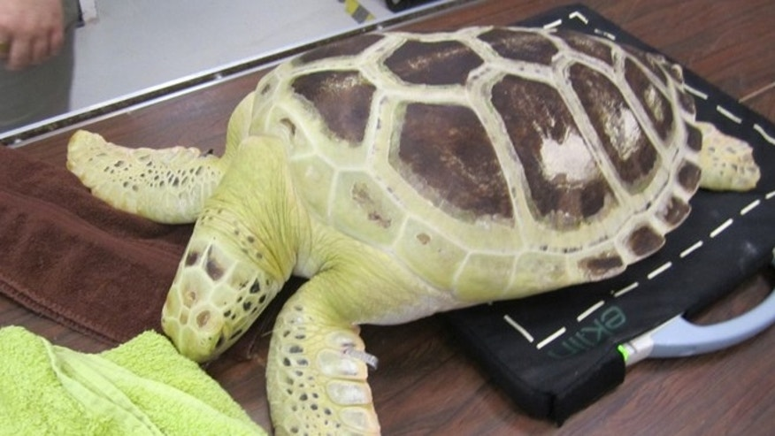 This green sea turtle was discovered in a fresh water pond in southwest Houston last year and has since been rehabilitating at the National Oceanic and Atmospheric Administration's sea turtle facility in Galveston.  (Courtesy: Houston Zoo)