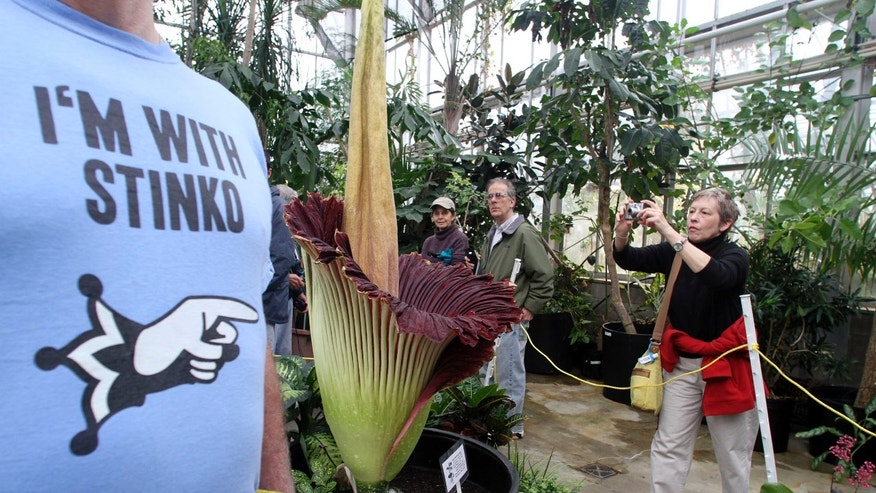 FILE - In this April 24, 2011 file photo, Nancy Clapper, of Columbus, takes a picture of the rare corpse flower as research assistant George Keeney, with the blue t-shirt, helps lead a group, at the Ohio State University Biological Sciences greenhouse in Columbus, Ohio. Researchers at an Ohio State University greenhouse are awaiting a rare second bloom by a rainforest plant known as a corpse flower because of its unpleasant odor. The university says the nearly 6-foot titan arum is expected to open this week, releasing another round of its rotting-flesh smell a little more than two years after it first flowered. (AP Photo/The Columbus Dispatch, Neal C. Lauron, File)