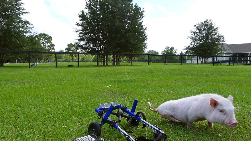 "In this Thursday, May 30, 2013 photo, potbellied pig ""Chris P. Bacon,"" owned by veterinarian Dr. Len Lucero, stands on the grass, in Sumterville, Fla. The pig was born without the use of his back legs. Lucero, who adopted the pig when a woman brought him into his animal clinic, has fashioned and bought a special harness so he can move around.  (AP Photo/Tamara Lush)"