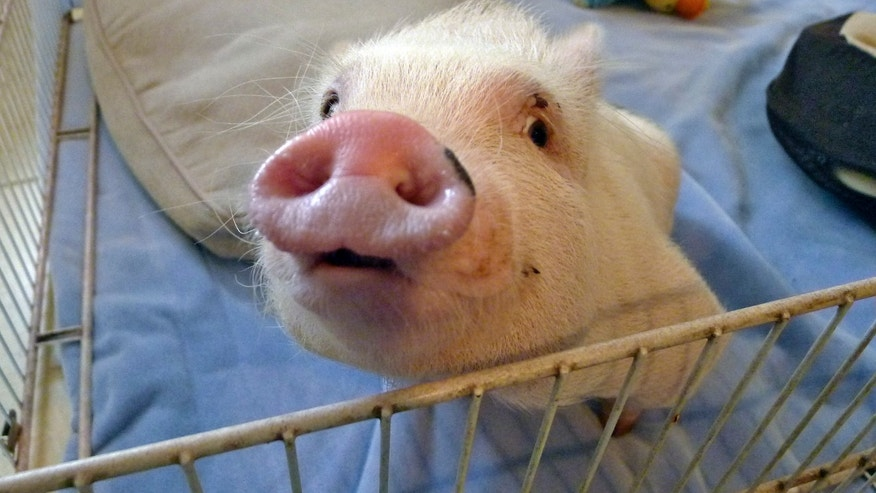"""In this Thursday, May 30, 2013 photo, potbellied pig """"Chris P. Bacon,"""" owned by veterinarian Dr. Len Lucero, looks out of his pen, in Sumterville, Fla. The pig was born without the use of his back legs. Lucero, who adopted the pig when a woman brought him into his animal clinic, has fashioned and bought a special harness so he can move around.  (AP Photo/Tamara Lush)"""