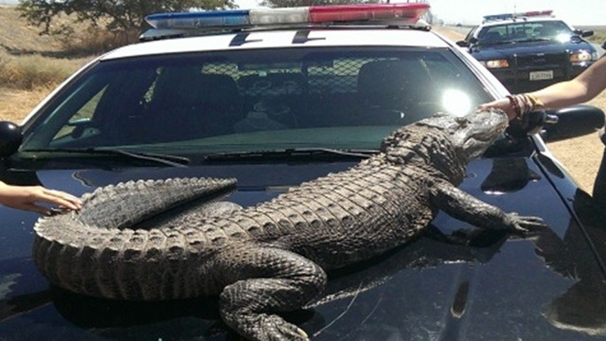This image provided by the Los Angeles County Sheriff's Department shows an alligator .