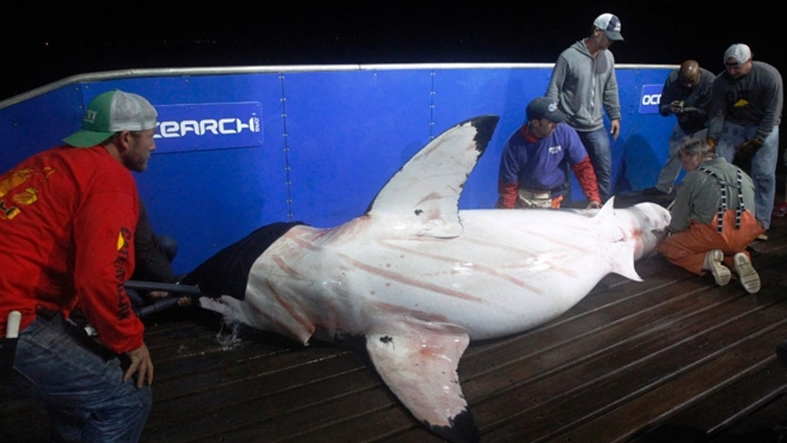 Sept. 13: Scientists collect blood and tissue samples from a female great white shark on the research vessel Ocearch in the Atlantic Ocean off the coast of Chatham, Mass.