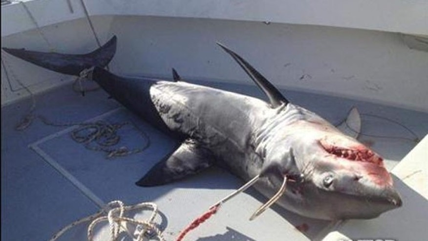 A 300-pound mako shark was caught off the coast of New Jersey