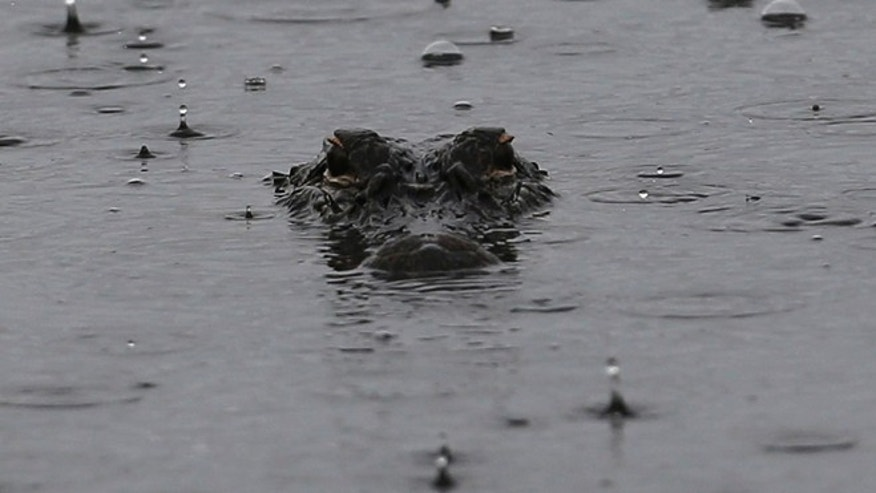 An alligator seen in a South Carolina pond