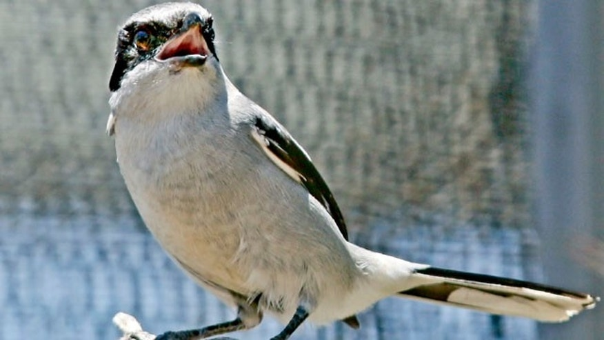 July 17, 2013: A San Clemente Island loggerhead shrike chirps away in its enclosure at a facility on San Clemente Island.