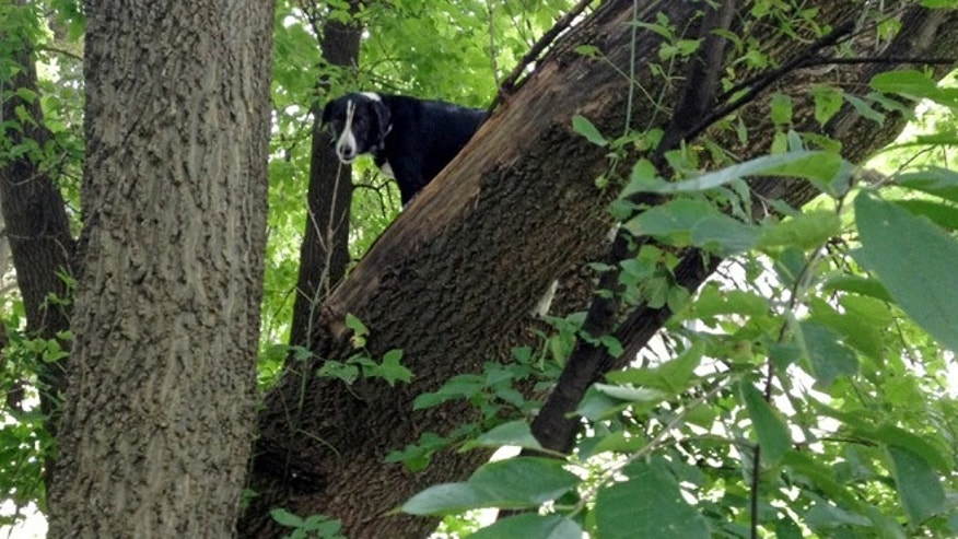 Aug. 11, 2013: This photo provided by Ron Stevenson shows Laddy, a border collie, who was found Sunday stuck up in a tree two blocks from his Davenport home, Iowa.