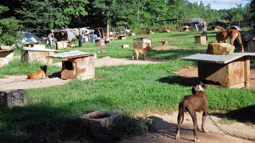Aug. 23, 2013: In this photo provided by the ASPCA, dogs sit at a home in Auburn, Ala. A federal and state investigation into dog fighting and gambling has resulted in the arrest of 12 people from Alabama, Georgia, Mississippi and Texas. U.S. Attorney George Beck said Monday, Aug. 26 that at least 12 are charged with conducting an illegal gambling business and multiple dog fighting charges, including promoting dog fights.