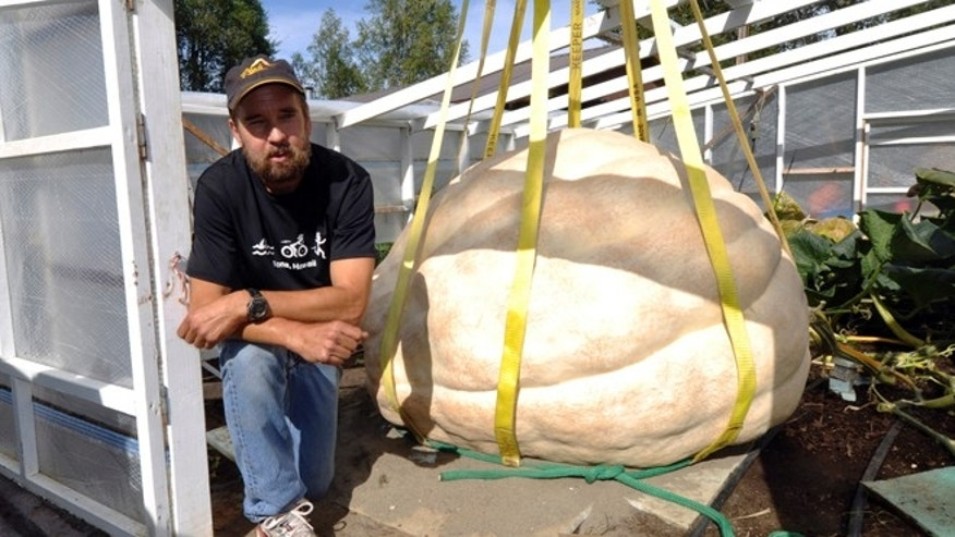 Aug. 26, 2013: J.D. Megchelsen poses next to his giant pumpkin in the Halbouty area of Nikiski, Alaska. J.D. Megchelsen holds the record for giant pumpkins in Alaska, and knew he had a candidate this year to beat the record of 1,287 pounds set in 2011. But when a boom truck gently lifted the behemoth on Monday with rigging and a sling, the big pumpkin revealed a big disappointment: a thumb-size hole that will make it ineligible for the competition at the Alaska State Fair in Palmer. (AP/Peninsula Clarion, Greg Skinner)