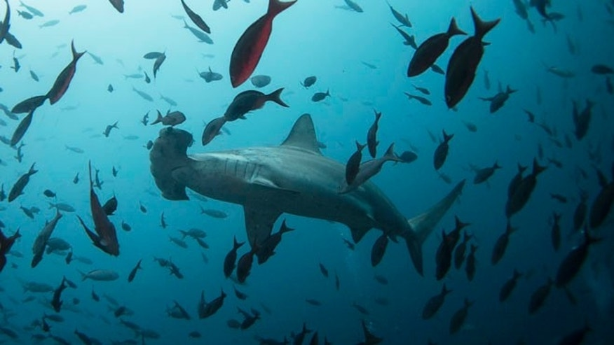 Aug. 19, 2013: A hammerhead shark swims close to Wolf Island at Galapagos Marine Reserve.