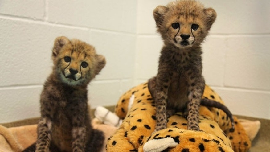 This image, provided by the Dallas Zoo, shows 8-week-old cheetah pups, Winspear, left, and Kamau, right.