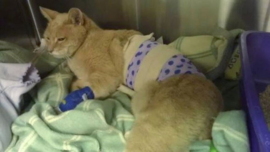 Sept. 3, 2013: This photo provided by Lauri Stec, shows Stubbs, a cat that has been the longtime honorary mayor of Talkeetna, recovering at the Big Lake-Susitna Veterinary Hospital from an attack by a dog last Saturday, in Big Lake, Alaska. (AP Photo)