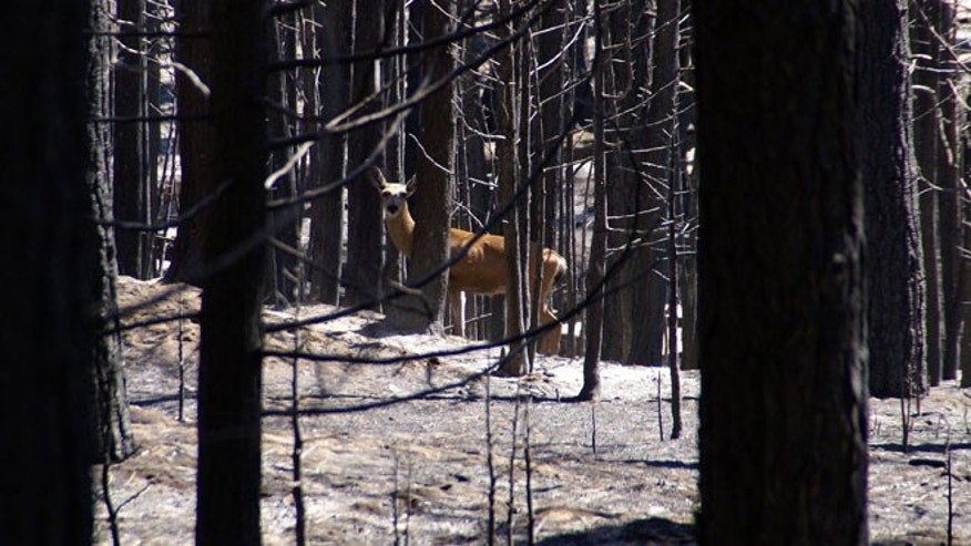 FILE 2013: A doe deer returns to its home range along the Cherry Lake Road in the Rim Fire area near Yosemite National Park.