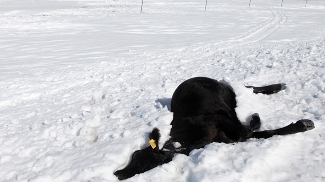 South Dakota ranchers reel after 'catastrophic' storm leaves up to 100,000 cattle dead