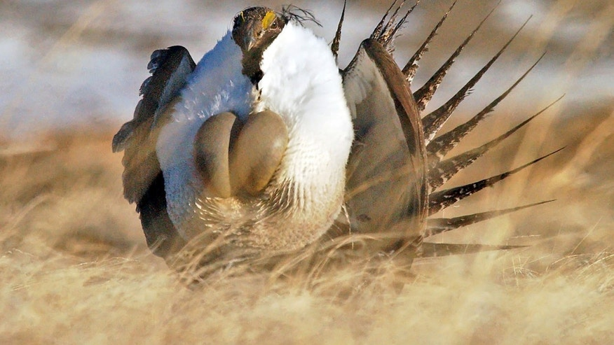 "FILE --This file photo taken Tuesday, April 15, 2008, near  Rawlins, Wyo., shows a  male sage grouse performing  his ""strut"". Federal wildlife officials are expected to make a decision Friday Oct. 25, 2013 about listing populations of sage grouse in Nevada and California as an endangered species. Miners, ranchers and others that operate on public lands have opposed the protections as an economic disaster. (AP Photo/Rawlins Daily Times, Jerret Raffety, File)"