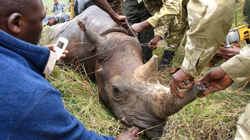 Oct. 12, 2010: Kenya Wildlife Service (KWS) wardens insert a transmitter on a tranquillised male black rhinoceros for translocation at the Lake Nakuru National park in Kenya's Rift Valley, 99 miles west of the capital Nairobi. After implanting radio transmitters into the horns to track the animals, and notching their ears, KWS is translocating 10 black rhinos to the Tsavo National Park, southeast of Nairobi, to re-establish the population.