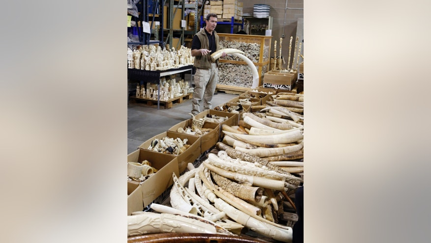 Steve Oberholtzer, a special agent for the Fish and Wildlife Service, talks about ivory poachers as he is surrounded by tons of ivory at the the National Wildlife Property Repository at the Rocky Mountain Arsenal National Wildlife Refuge near Commerce City, Colo., on Wednesday, Nov. 13, 2013. Over 6-tons of ivory tusk and carvings worth millions of dollars that will be crushed at the facility on Thursday. The items were seized from smugglers, traders and tourists at U.S. ports of entry after a global ban on the ivory trade went into effect in 1989. (AP Photo/Ed Andrieski)