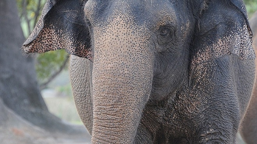 Zoo officials said Maude started eating sand and clay, which is what elephants do in the wild to get minerals they need, but that turned out to be fatal for the animal who was brought to the zoo three years ago to be a companion to another female elephant. (Courtesy: Zoo Miami)