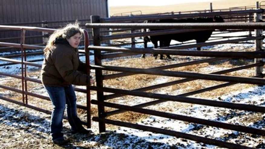 Nov. 21, 2013: Rene Brown locks up a cattle delivery at the J S Livestock yard in Havre, Montana. Brown collected cattle donations from area ranchers to send to the South Dakota Ranchers whose cattle was ravaged by the October blizzard. (AP/Havre Daily News, Lindsay Brown)