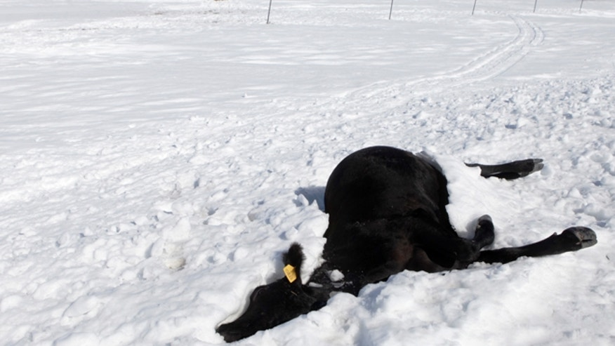 Oct. 7, 2013: Frozen cattle are seen along Highway 34 east of Sturgis, S.D., another casualty of the early October blizzard. (AP/Rapid City Journal, Kristina Barker)