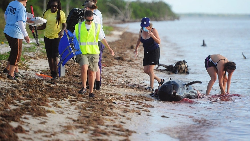 After conducting a necropsy volunteers and staff from NOAA, FWC, MMC wash bloodied hands in the Gulf of Mexico on a dead pilot whale Wednesday, Dec. 4, 2013 at Highland Beach in The Everglades of Florida. Six dead pilot whales were found earlier today in a remote part of the park, part of a pod of 51 whales facing an uncertain future. Four pilot whales have had to be euthanized. Federal biologists report that 46 pilot whales are alive and swimming free. (AP Photo/Naples Daily News, Corey Perrine)