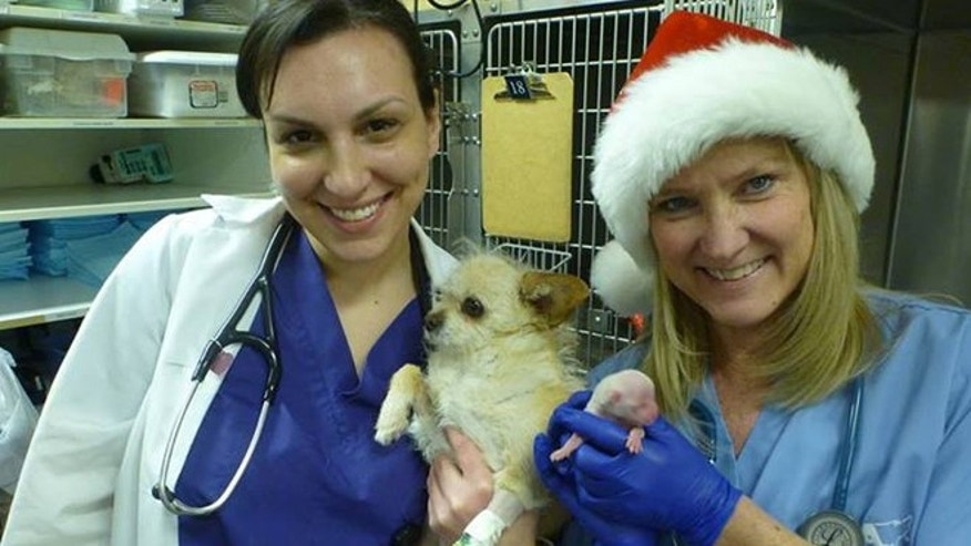 "Veterinarians at the Aurora Animal Shelter in Colorado pose with ""Miracle,"" a dog who beat the odds to survive birth in time for Christmas."