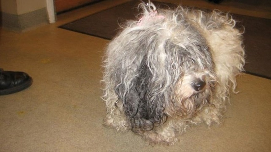 Dec. 29, 2013: This female Lhasa apso was found in a trash bin behind a gas station in New York. Animal shelter worker Michael Papini is charged with cruelty in the case.