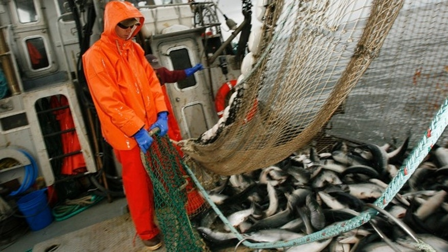 FILE: A deck hand works to haul a load of fish into the fish hold of the commercial salmon seining vessel in the waters off Kodiak, Alaska.