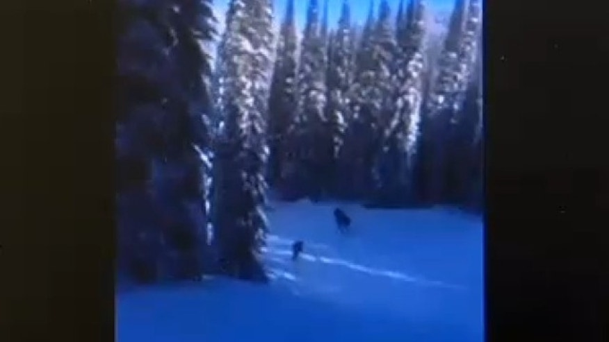 This screen capture by ABC Fox Montana shows a Facebook video of a snowboarder following a moose down a hill at Whitefish Mountain Resort in the Flathead National Forest in Montana.