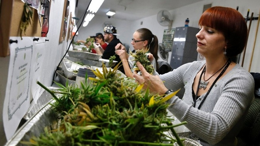 Dec. 27, 2013: In this photo, employee Lara Herzog trims away leaves from pot plants, harvesting the plant's buds to be packaged and sold at Medicine Man marijuana dispensary, which is to open as a recreational retail outlet at the start of 2014, in Denver.