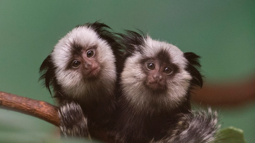"In this Jan. 16, 2014 photo provided by the Wildlife Conservation Society, twin, juvenile Geoffroy's marmosets cling to a branch at the Prospect Park Zoo in New York. Also known as ""white-fronted marmosets,"" Geoffroy's marmosets are native to small parts of the Atlantic rainforest in eastern Brazil. (AP Photo/Wildlife Conservation Society, Julie Larsen Maher)"