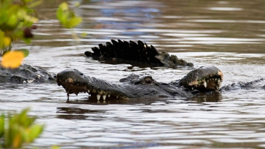 FILE: Alligators fight in Cape Canaveral, Fla. ExxonMobil attorneys say a Mississippi family should have investigated the alligator issue when they first saw one back in 2003.