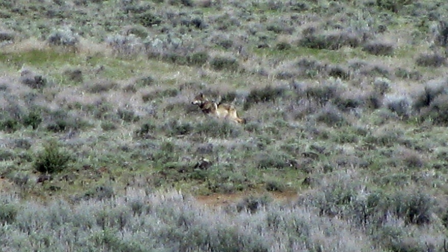 File - This May 8, 2012 file photo provided by the California Department of Fish and Game shows OR-7, the Oregon wolf that has trekked across two states looking for a mate, on a sagebrush hillside in Modoc County, Calif. Chuck Bonham, the director of the California Department of Fish and Wildlife, said Wednesday that the scientific evidence suggests some protections are needed for the gray wolf, but not a listing on the endangered species list, The San Francisco Chronicle reported. Bonham said his decision was reached after a yearlong department study spurred by conservationists, who filed a petition seeking protections after a lone gray wolf, called OR-7, wandered into California from Oregon. (AP Photo/California Department of Fish and Game, Richard Shinn, File)