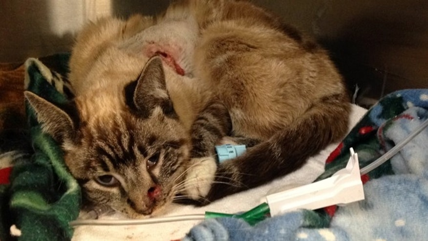 Feb. 6, 2014: Quiver, a cat that was shot with an arrow, rests in a cage  after undergoing surgery in Washington, Utah.