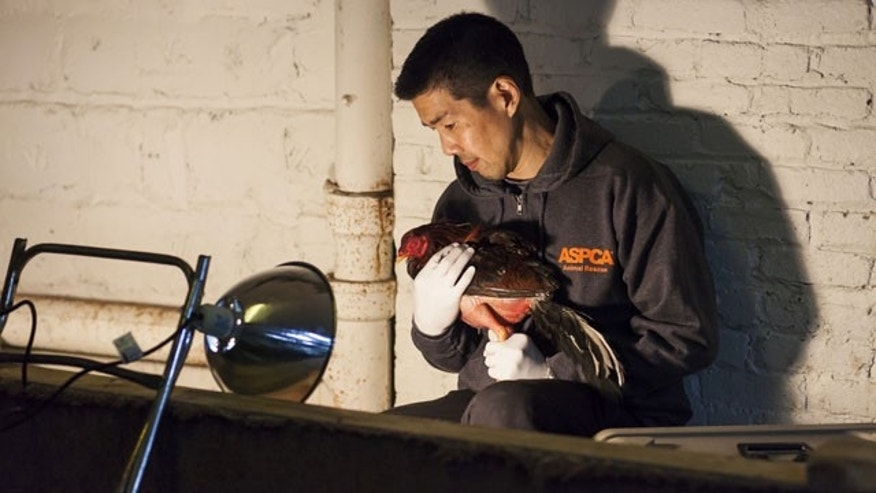"February 8, 2014: This photo provided by the ASPCA shows ""Operation Angry Birds"" in the Queens borough of New York. More than 3,000 birds were rescued in the three-county cockfighting takedown that began Saturday and ended Sunday in New York and resulted in nine felony arrests, according to the state Attorney General's Office. (AP Photo/ASPCA)"