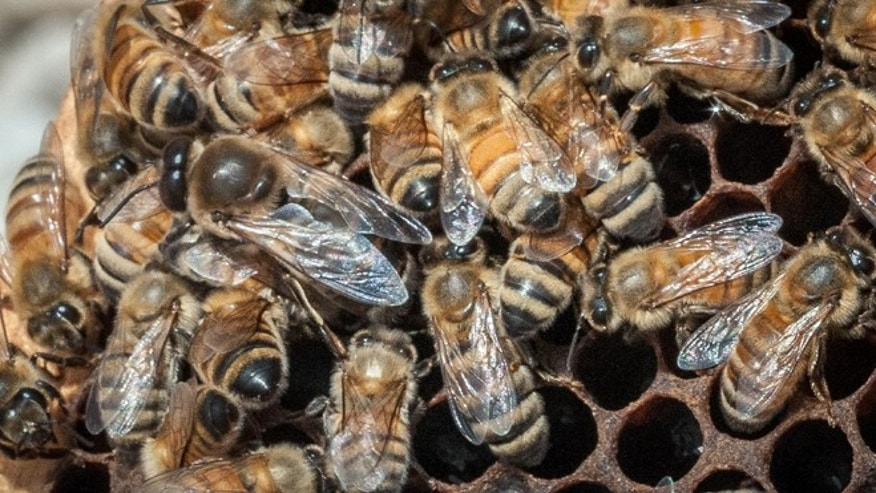 May 22, 2013: In this photo provided by the U.S. Department of Agriculture, a queen Italian honeybee, the large bee just left of center, is surrounded on an apiary nest in Washington, D.C. The USDA hopes to help honeybees by providing $3 million to farmers and ranchers in five states to improve their pastures. It turns out that dairy cows and bees like many of the same plants.