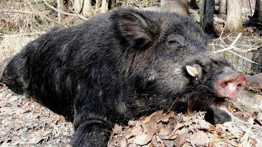 A wild hog killed in North Carolina weighed in at 500-pound and was 8-feet long.