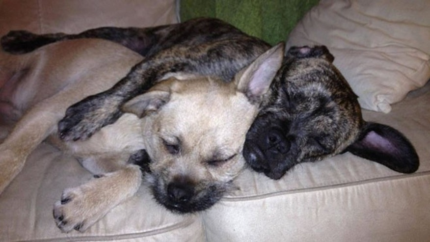 FILE: It's been nearly three weeks since Burton and Zuzu, seen above, vanished after a home break-in in West Hartford, Conn., their owner, Amanda Denes, says.