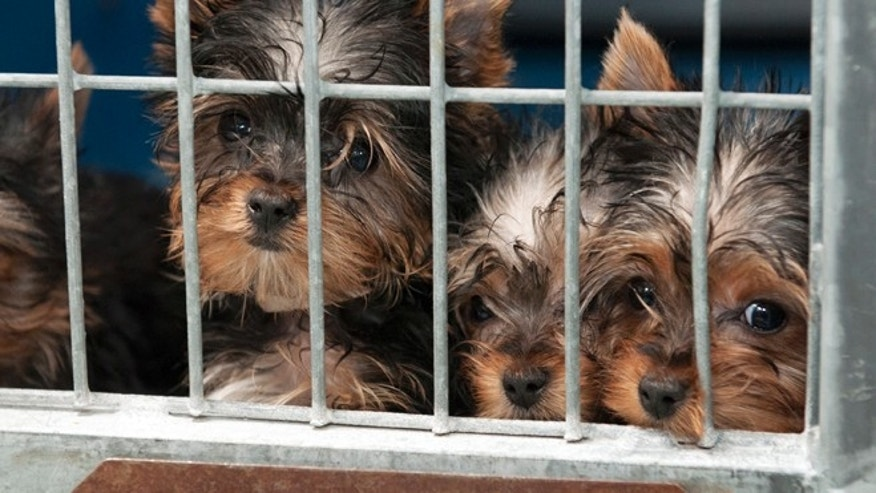 Feb. 3, 2014: Rescued Yorkshire terrier puppies peer out from their enclosure at Lied Animal Shelter in Las Vegas where 27 puppies were taken after a fire at Gloria Lee&#39&#x3b;s Prince and Princess Pet Boutique.