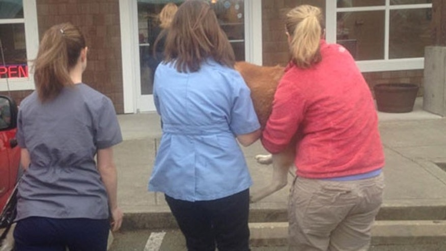 Boomer, 15, seen arriving at the at Arlington Veterinary Hospital after being found in the mudslide debris.